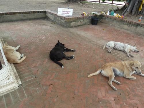 画像20 アユタヤの犬たち